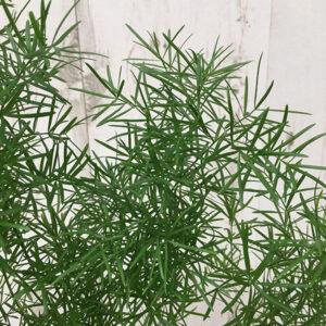 Asparagus d. Mazeppa