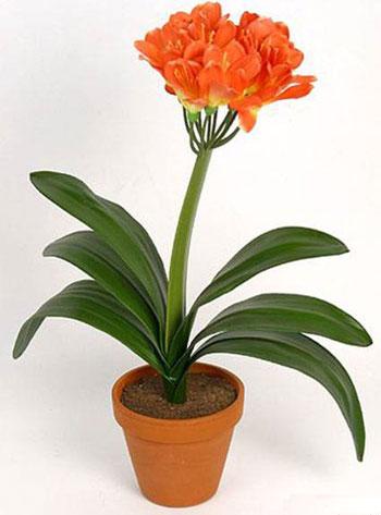 Clivia Miniata (Orange)