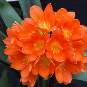 Clivia Miniata (Orange)
