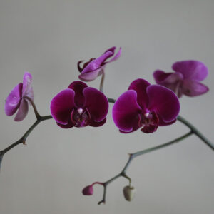 Phalaenopsis Grandiflorum (Purple)