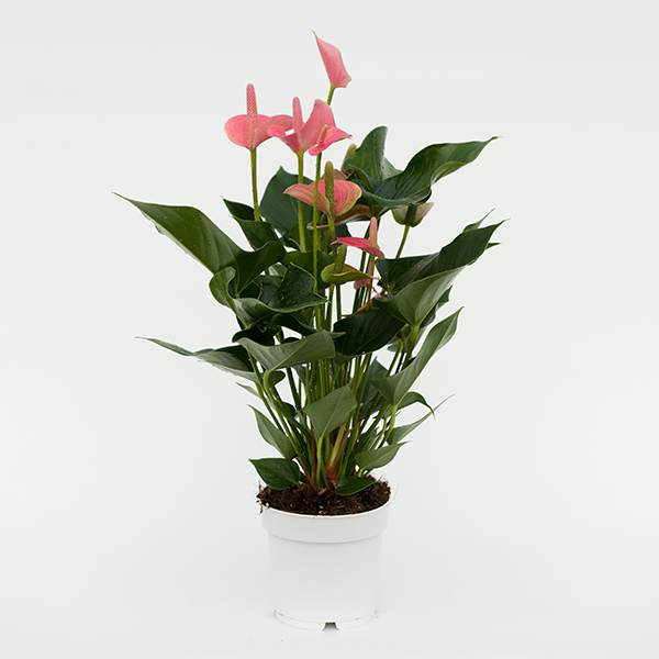 Anthurium Pink