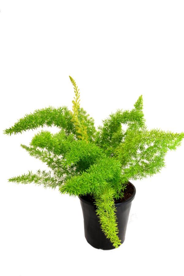 Asparagus d. Myersii
