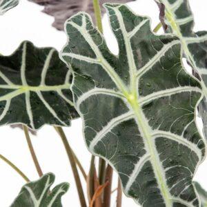 Alocasia × Amazonica