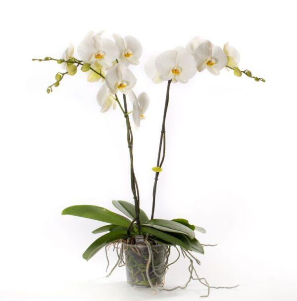 Phalaenopsis Grandiflorum (White)