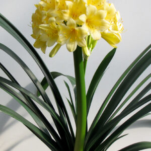 Clivia Miniata (Yellow)