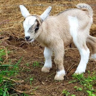 Dwarf Goats