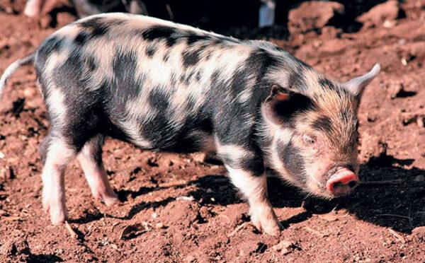Kolbroek Pigs
