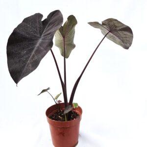 Colocasia Esculenta (Black Magic)