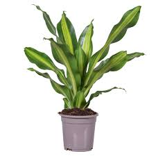 Dracaena Fragrans (Variegated Corn Plant)