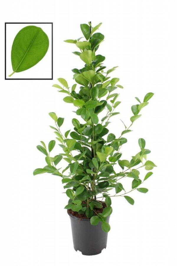 Ficus Microcarpa (Nitida)